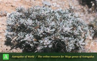 Astragalus trachyacanthos - Photo by Maassoumi