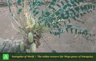 Astragalus aliomranii 2 - Photo by Maassoumi