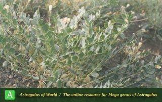 Astragalus aliomranii - Photo by Maassoumi
