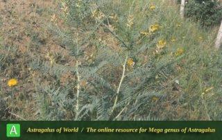 Astragalus basilicus 2 - Photo by Maassoumi