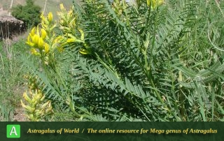 Astragalus basilicus - Photo by Mozaffarian