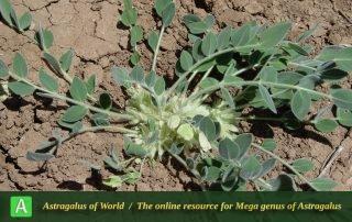 Astragalus ibicinus - Photo by Mozaffarian