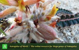 Astragalus maassoumi 3 -student, Ilam