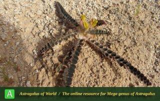 Astragalus maassoumi 4 -student, Ilam