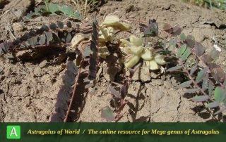 Astragalus maassoumi 5 -Mozaffarian