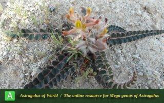 Astragalus maassoumi -student, Ilam