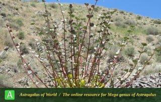 Astragalus remotijugus 2 - Photo by Maassoumi