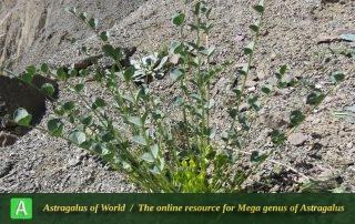 Astragalus remotijugus 3 - Photo by Maassoumi