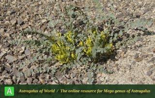 Astragalus remotijugus 4 - Photo by Mozaffarian