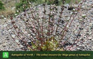 Astragalus remotijugus 5 - Photo by Maassoumi