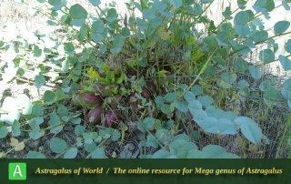 Astragalus remotijugus 6