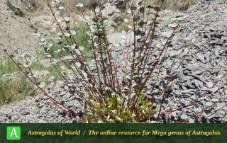 Astragalus remotijugus - Photo by Maassoumi