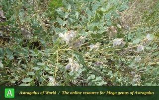 Astragalus rhabdophorus 2