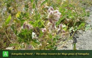 Astragalus rhabdophorus